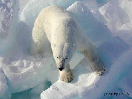 PolarbearoniceUSGSjpeg