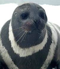 Ribbonseal_closeup_sm
