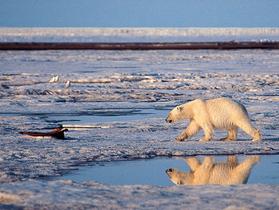 Polar_bear_ap_subhankar_banerjee